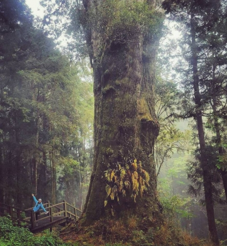 The ancient trees of Alishan, Taiwan