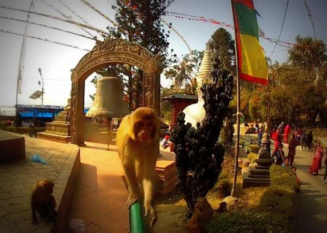 Near the Swayambhu Stupa in Kathmandu this monkey wanted our camera, Nepal