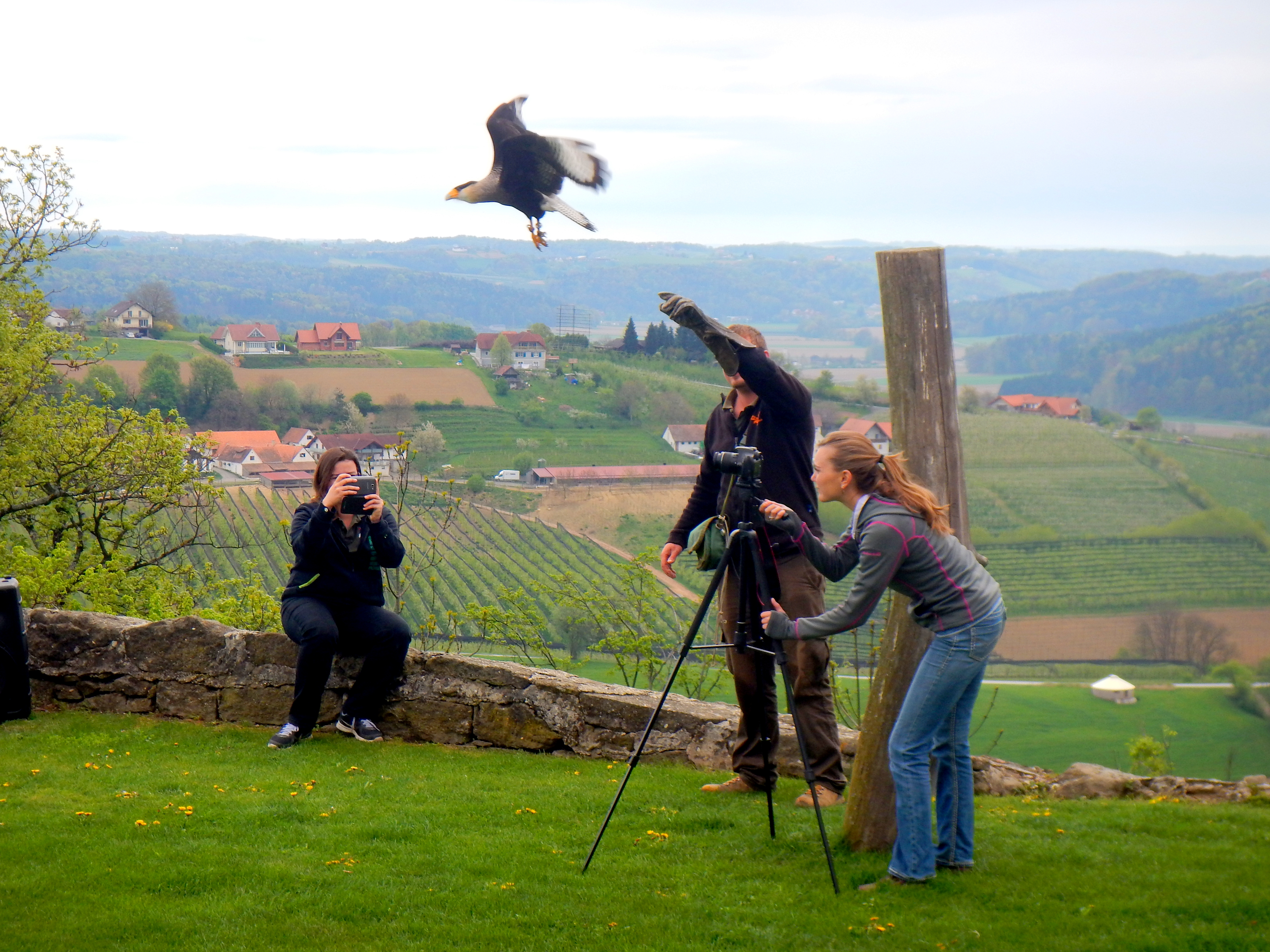 Working with the falconry in Riegersburg, Austria