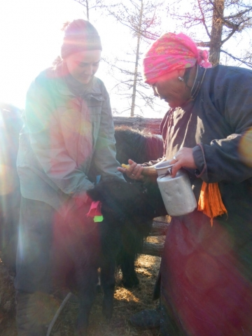Helping Ut feed her baby yaks, northern Mongolia
