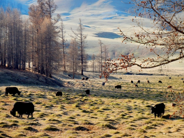 Ut's yak herd, roaming the countryside of northern Mongolia
