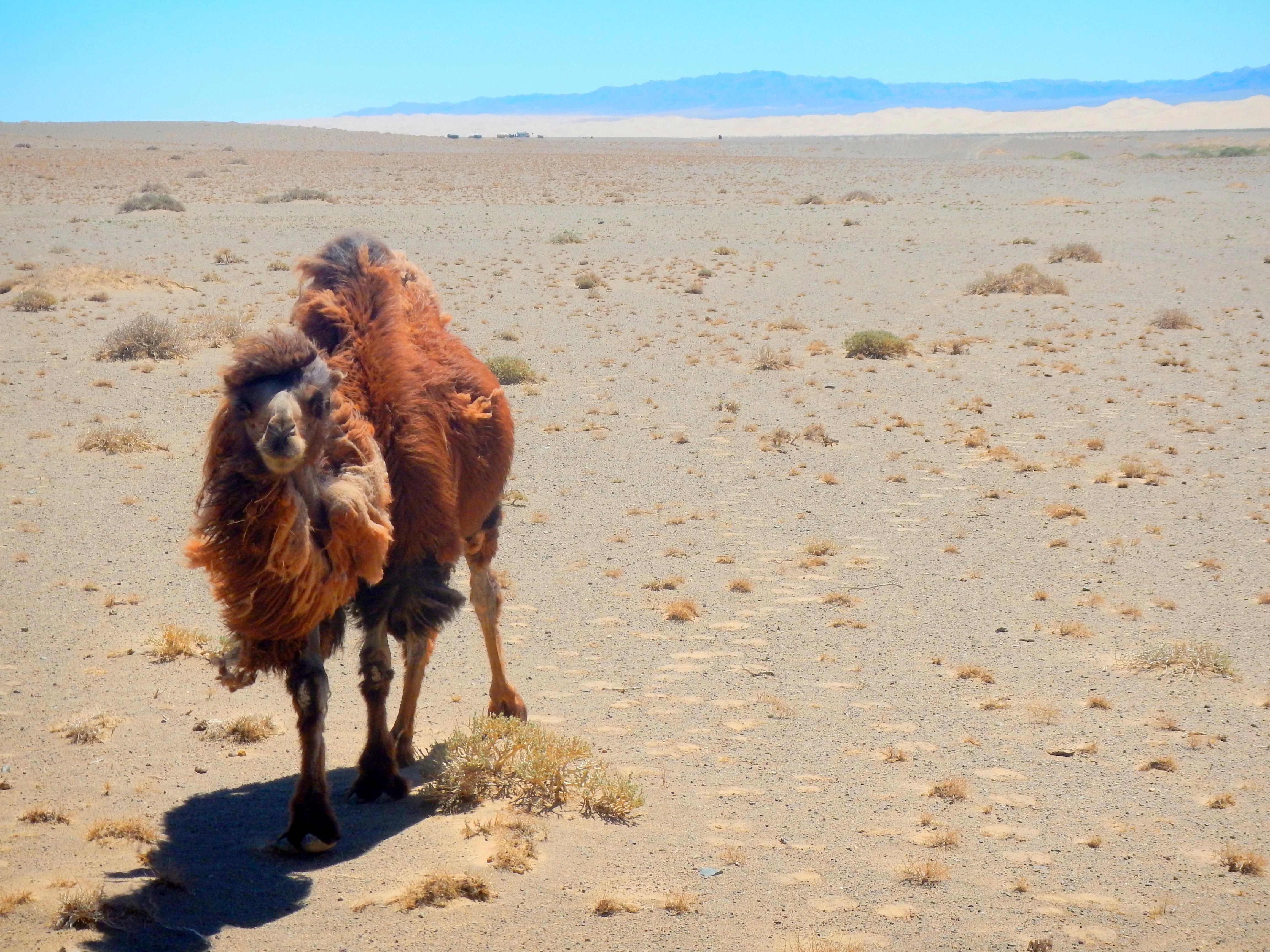 A wild camel stares us down in Khongoriin Els, Gobi Desert, Mongolia