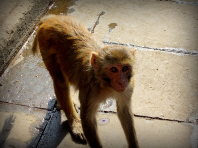 Monkeys live inside the city of Kathmandu, Nepal