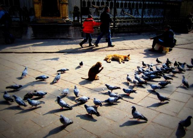 Street animals in Kathmandu, Nepal