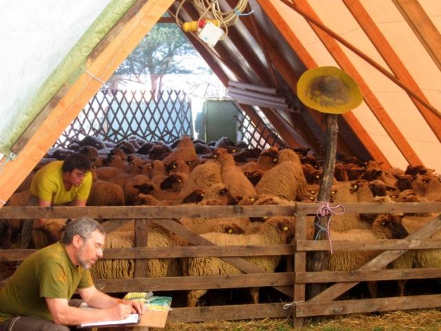 Working with the shepherds in Fürstenfeld Austria
