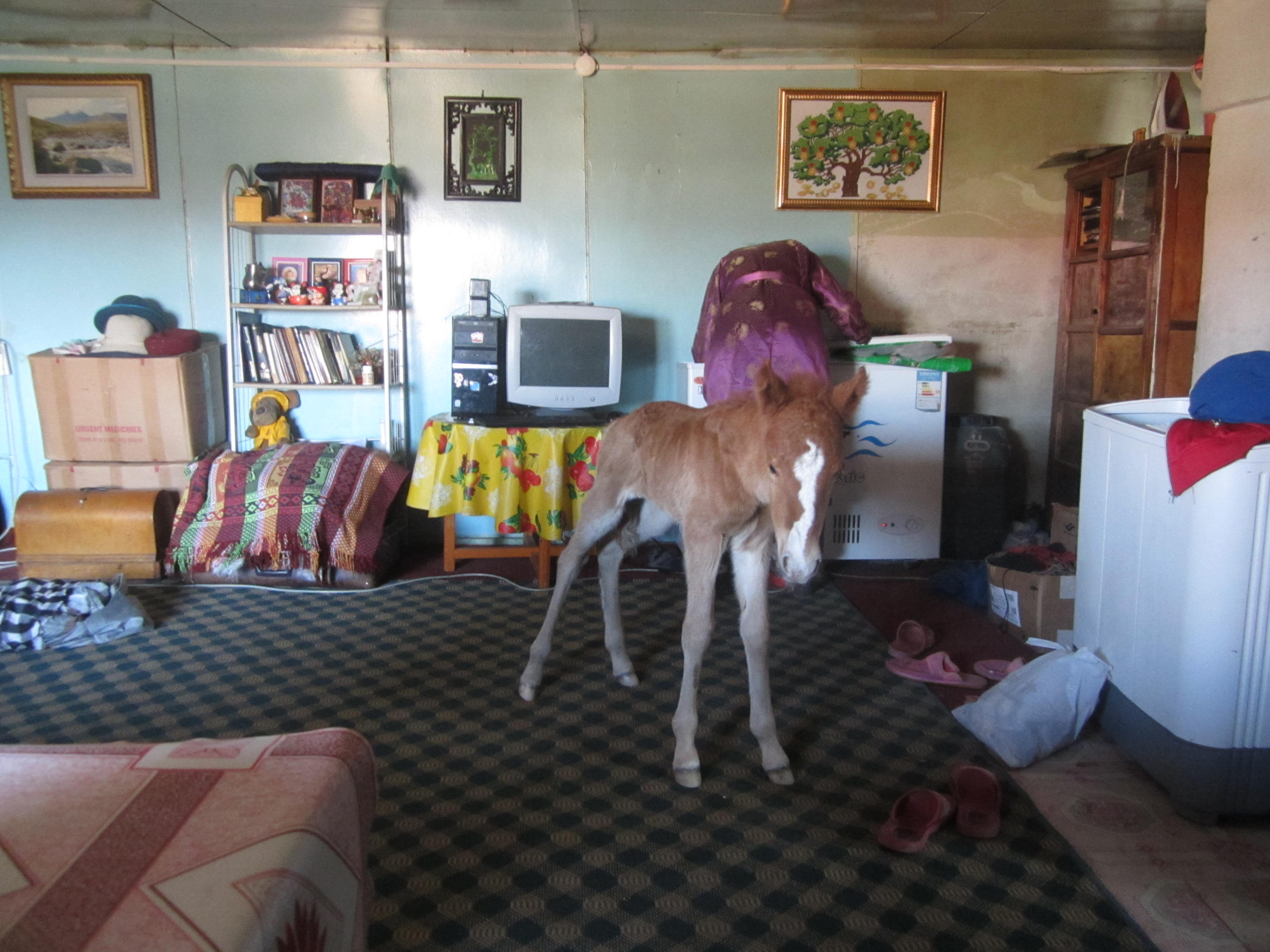 This family had brought their newborn colt inside, so he wouldn't get too cold. Mörön, Mongolia.