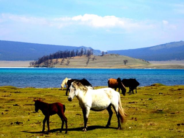 Horses wandering freely along Lake Khövsgöl, Mongolia