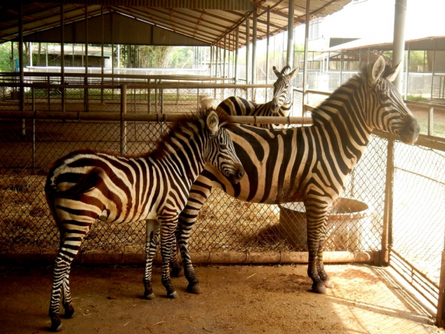 Zebras at the Safari Park Zoo, Kanchanaburi, Thailand