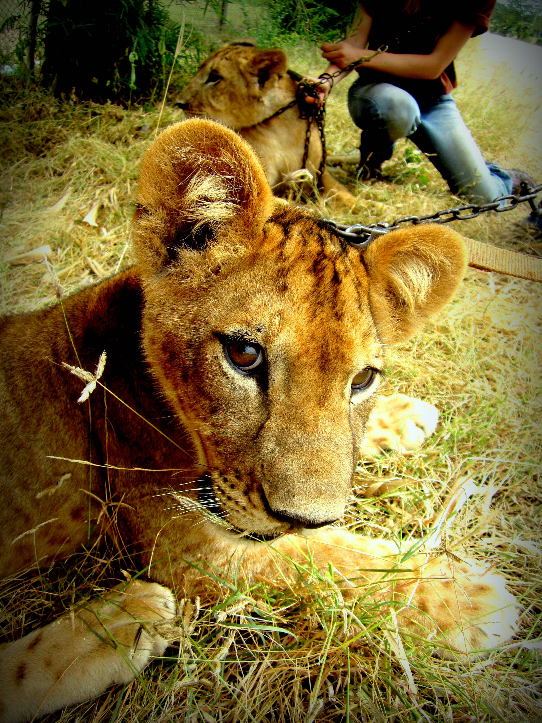 At the Safari Park Zoo Volunteer Project with Nala the lion. Kanchanaburi, Thailand