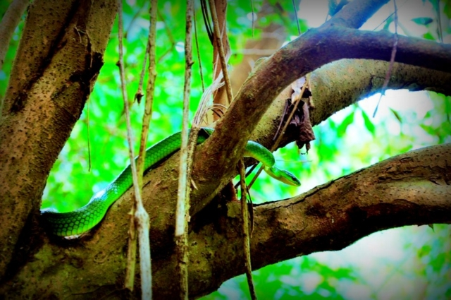 A tree snake in Liangshan, Pingtung Taiwan